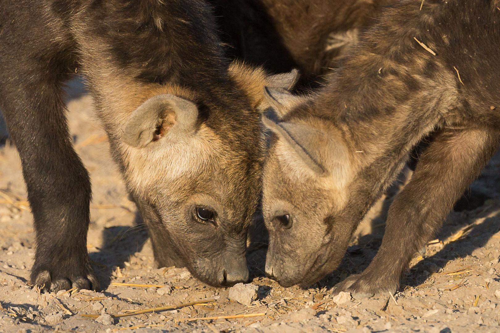 Junge Hyänen erkunden ihre Welt
