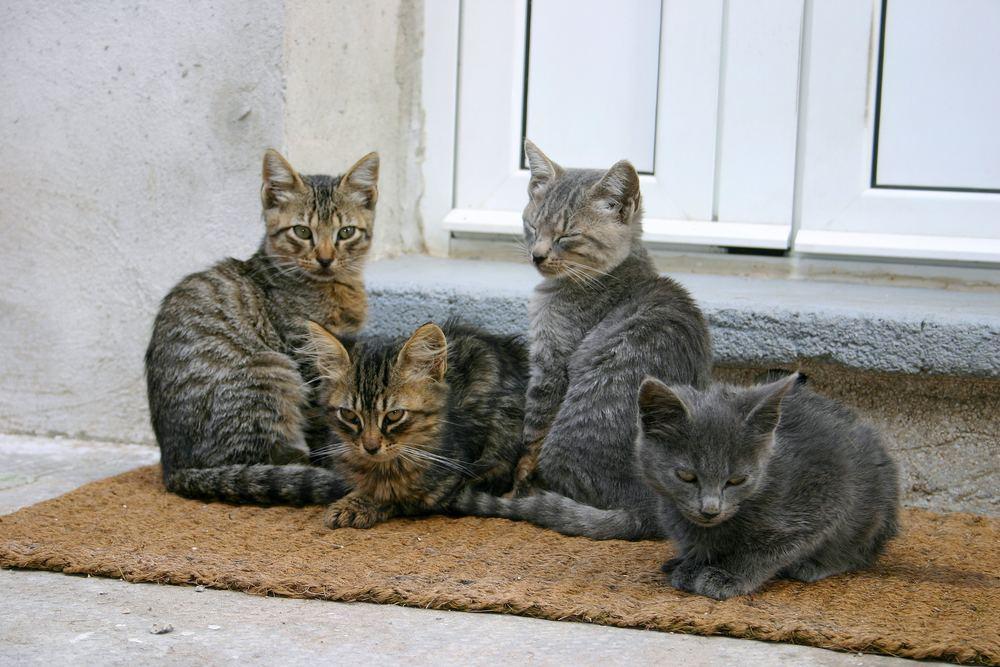 Junge Katzen (Insel Rab/Kroatien)