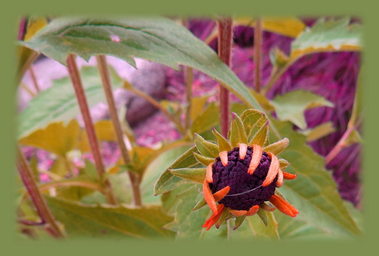 junge kleine Margerite - noch keine Blütenöffnung