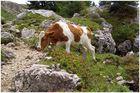 Junge Kuh