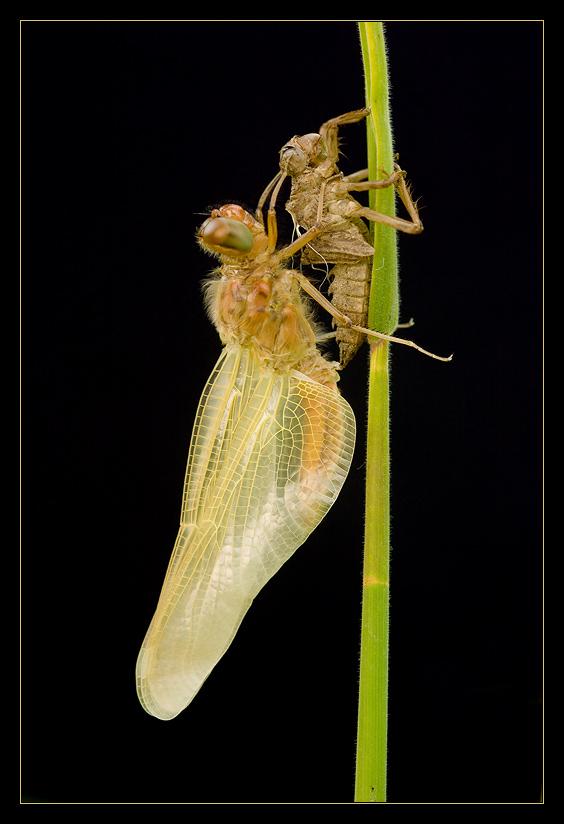 [junge Libelle] abhängen