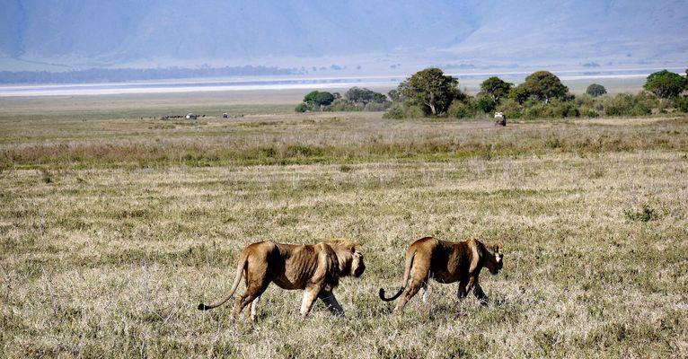 Junge Löwen im Krater