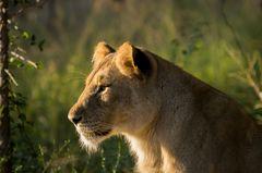 Junge Löwin