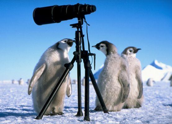 Junge Pinguine auf Entdeckungsreise