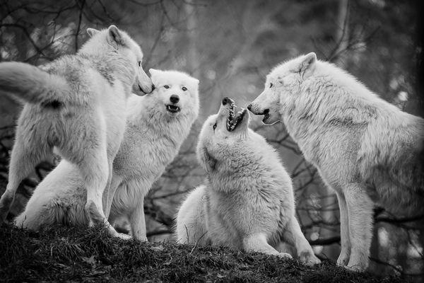 Junge Polar Wölfe