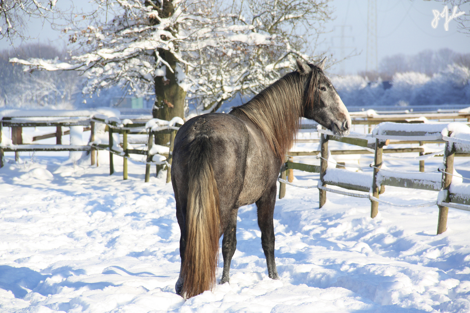 junge P.R.E Stute im Schnee