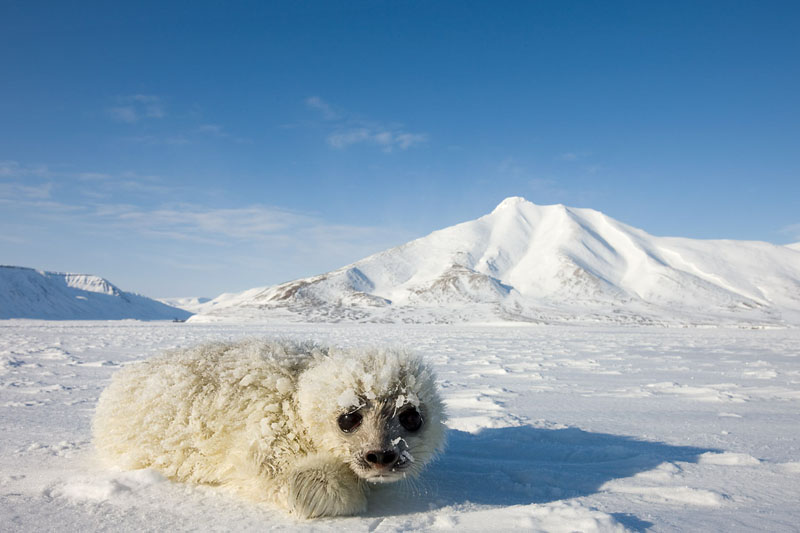 Junge Ringelrobbe, Ringed-seal pup, Svalbard