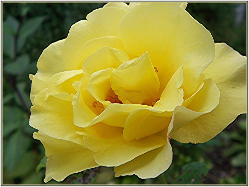 Junge Rose