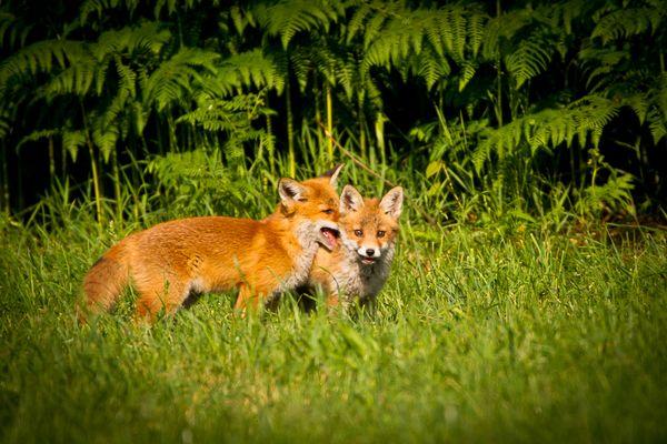 Junge Rotfüchse