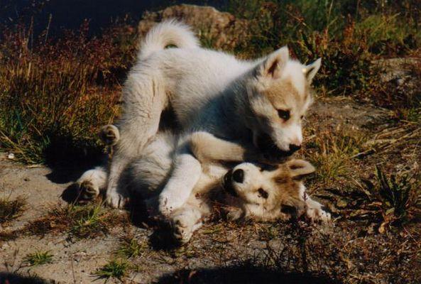 Junge Schlittenhunde beim Balgen