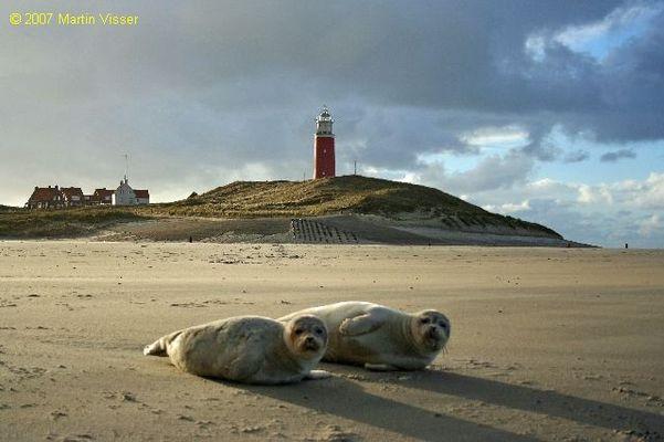Junge Seehunde am Strand von Texel