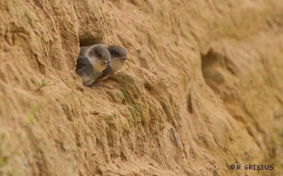 Junge Uferschwalben beim Verlassen ihrer Bruthöhle