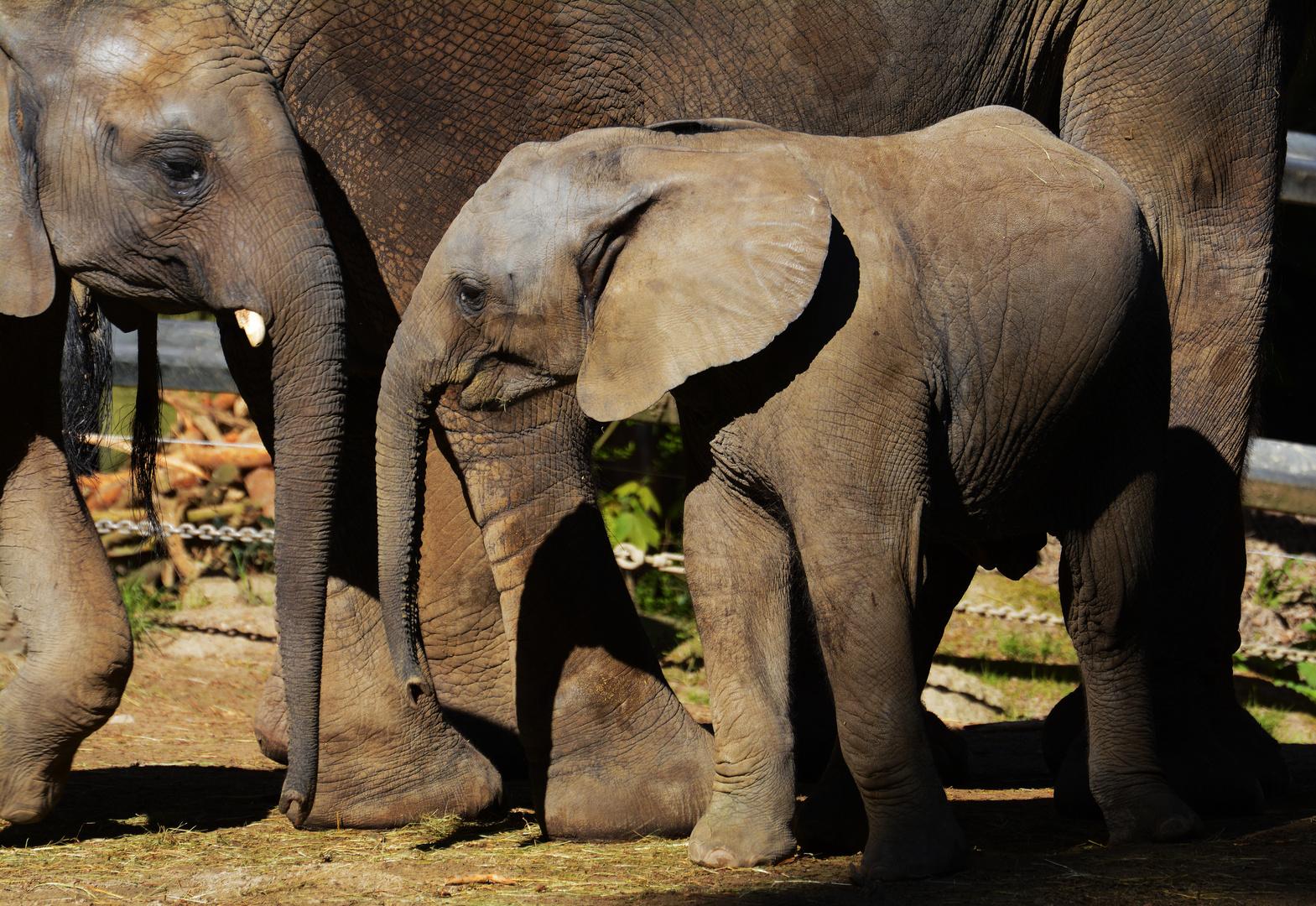 junge und ältere Elefanten