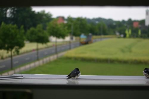 junge Vögel.
