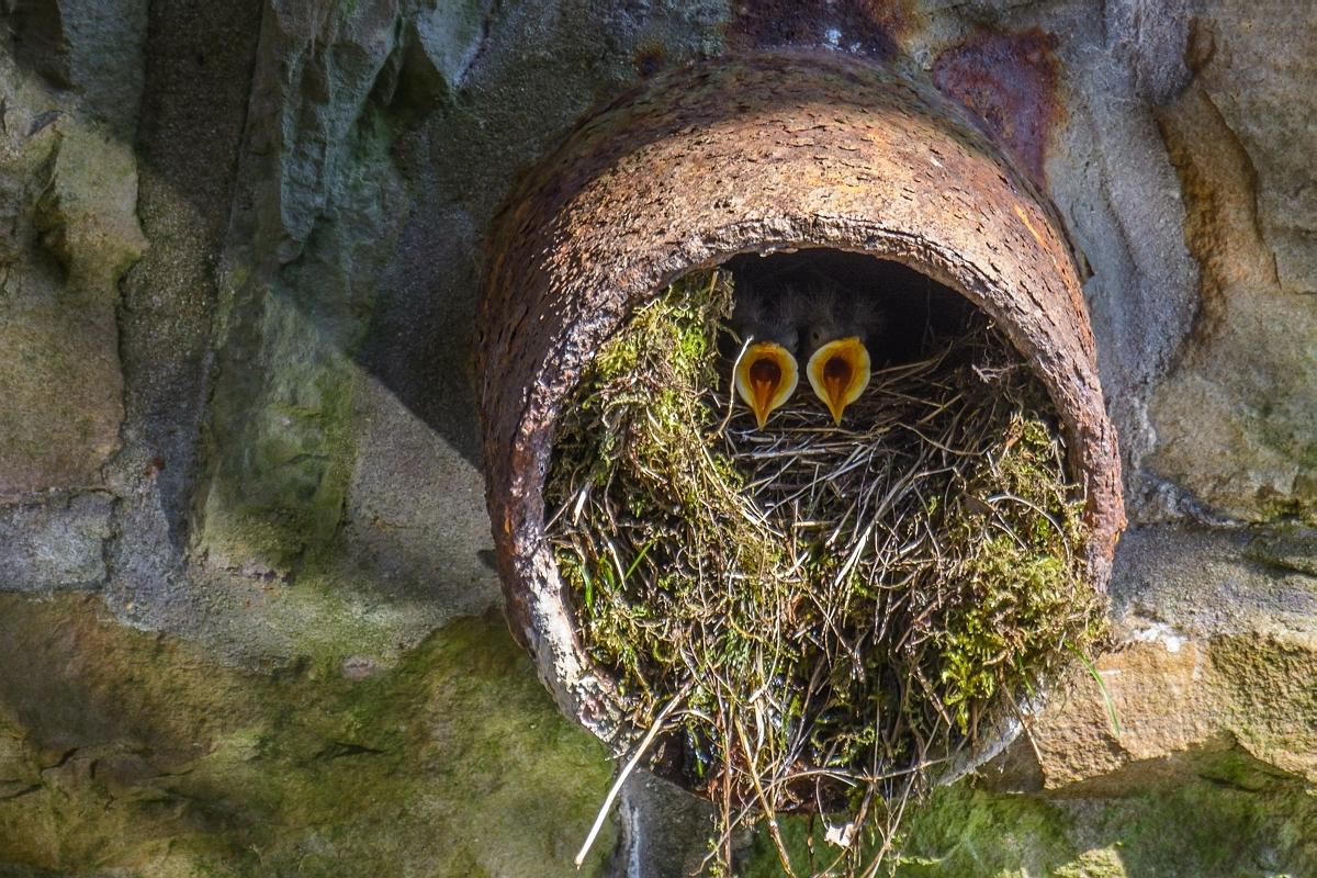 Junge Wasseramseln im Nest ...