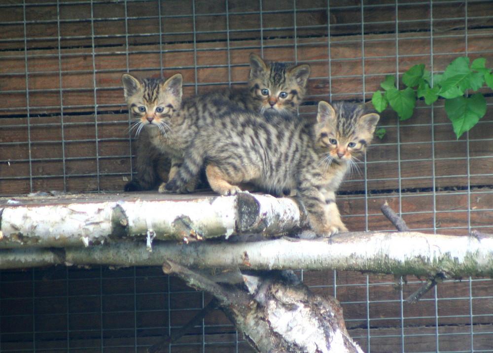 Junge Wildkatzen