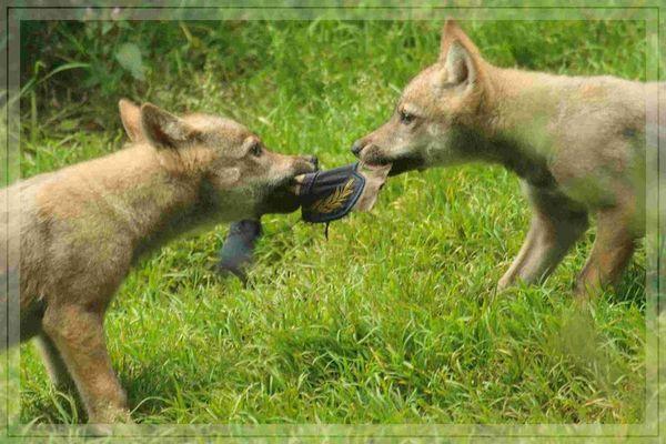 Junge Wölfe Im Naionalpark Bayrischer Wald