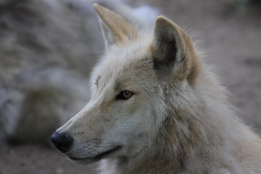 Junge Wölfin