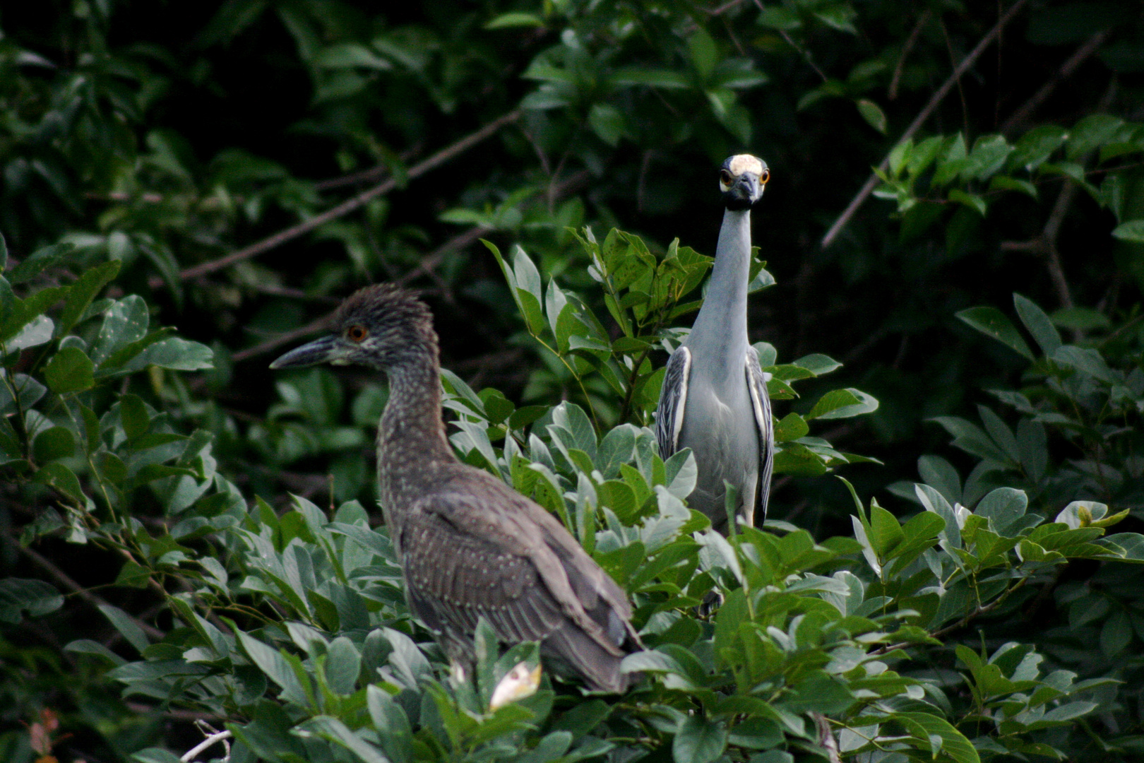 jungel birds