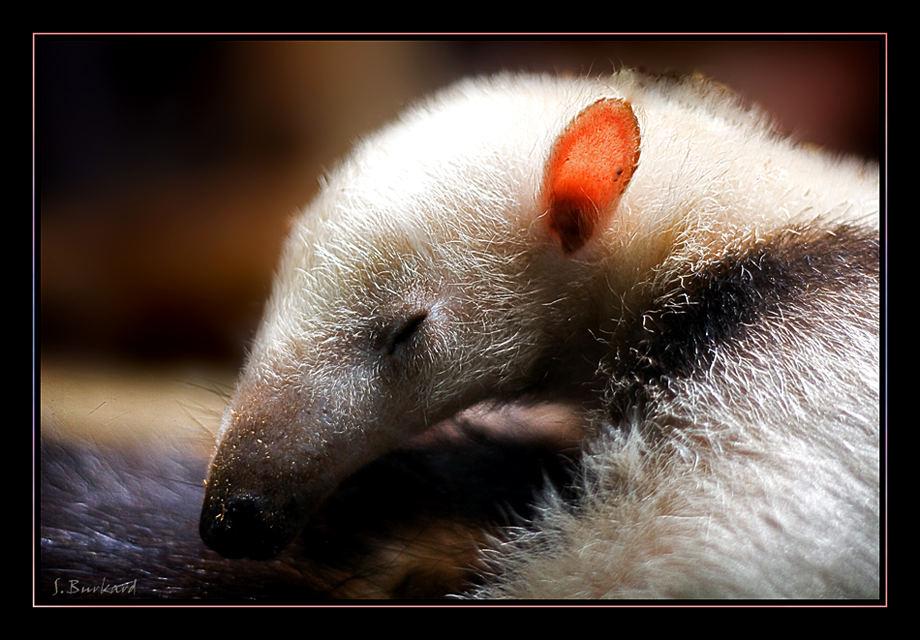 >>> Junger Ameisenbär