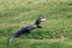 Junger American Alligator ...