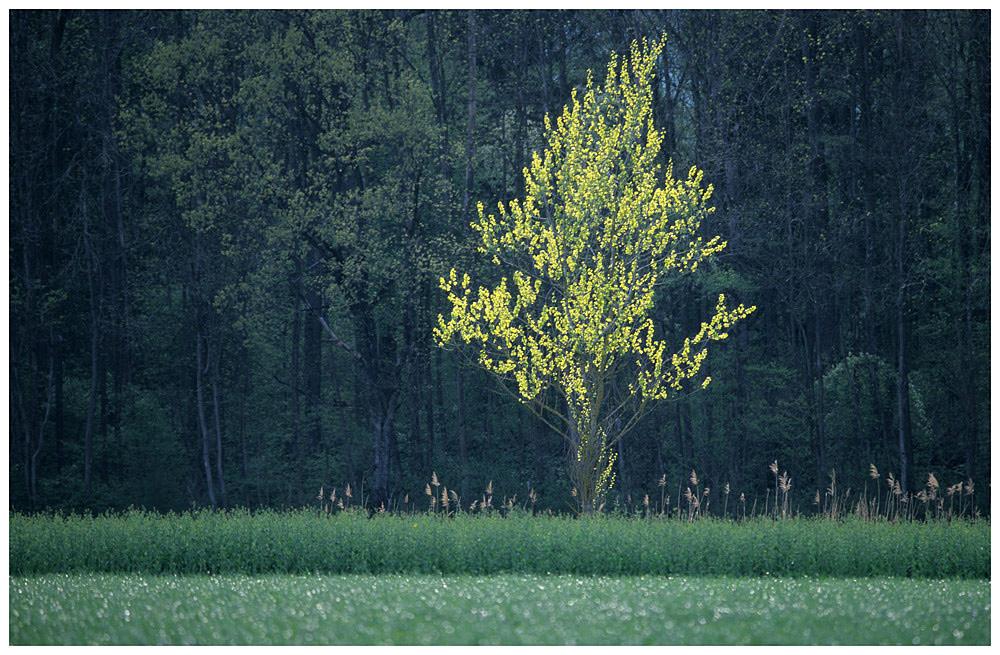 Junger Baum im Gegenlicht II