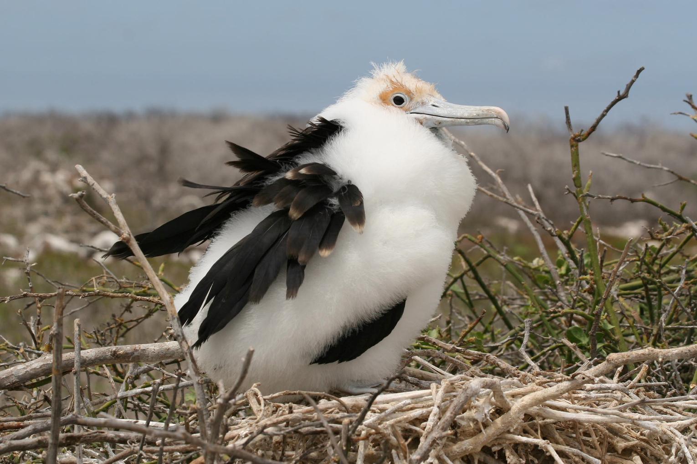 Junger Binden Fregattvogel auf Galapagos