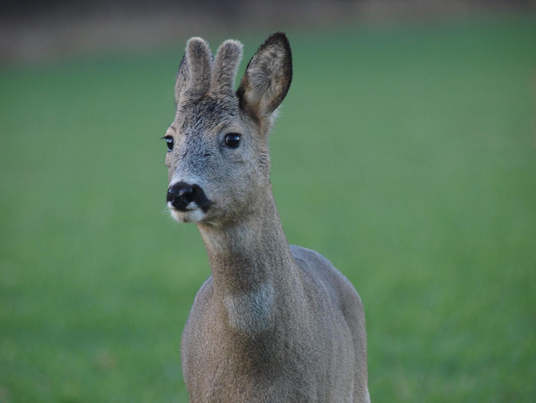 junger Bock
