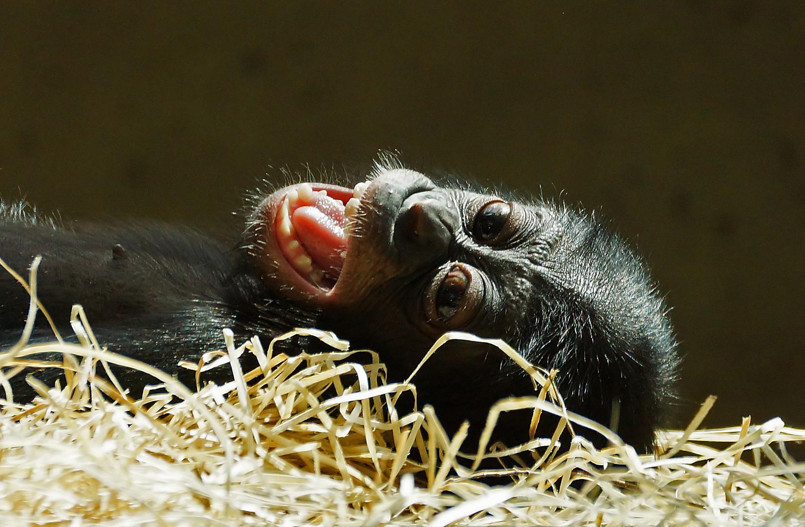 Junger Bonobo....