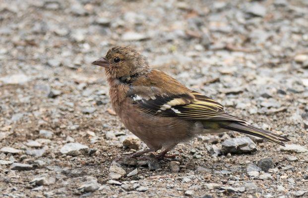 Junger Buchfink (weibl)