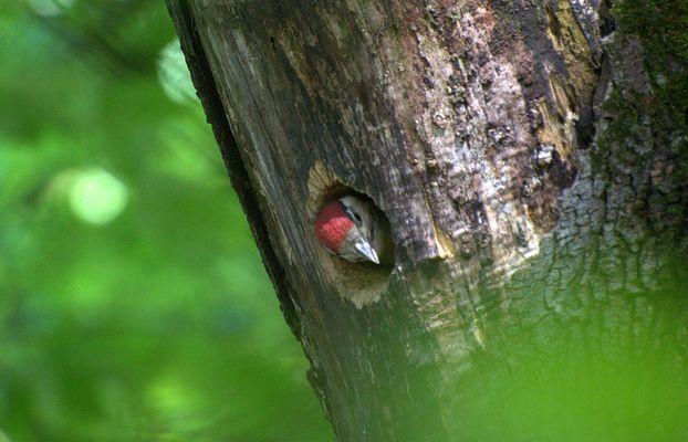 Junger Buntspecht in der Bruthöhle...