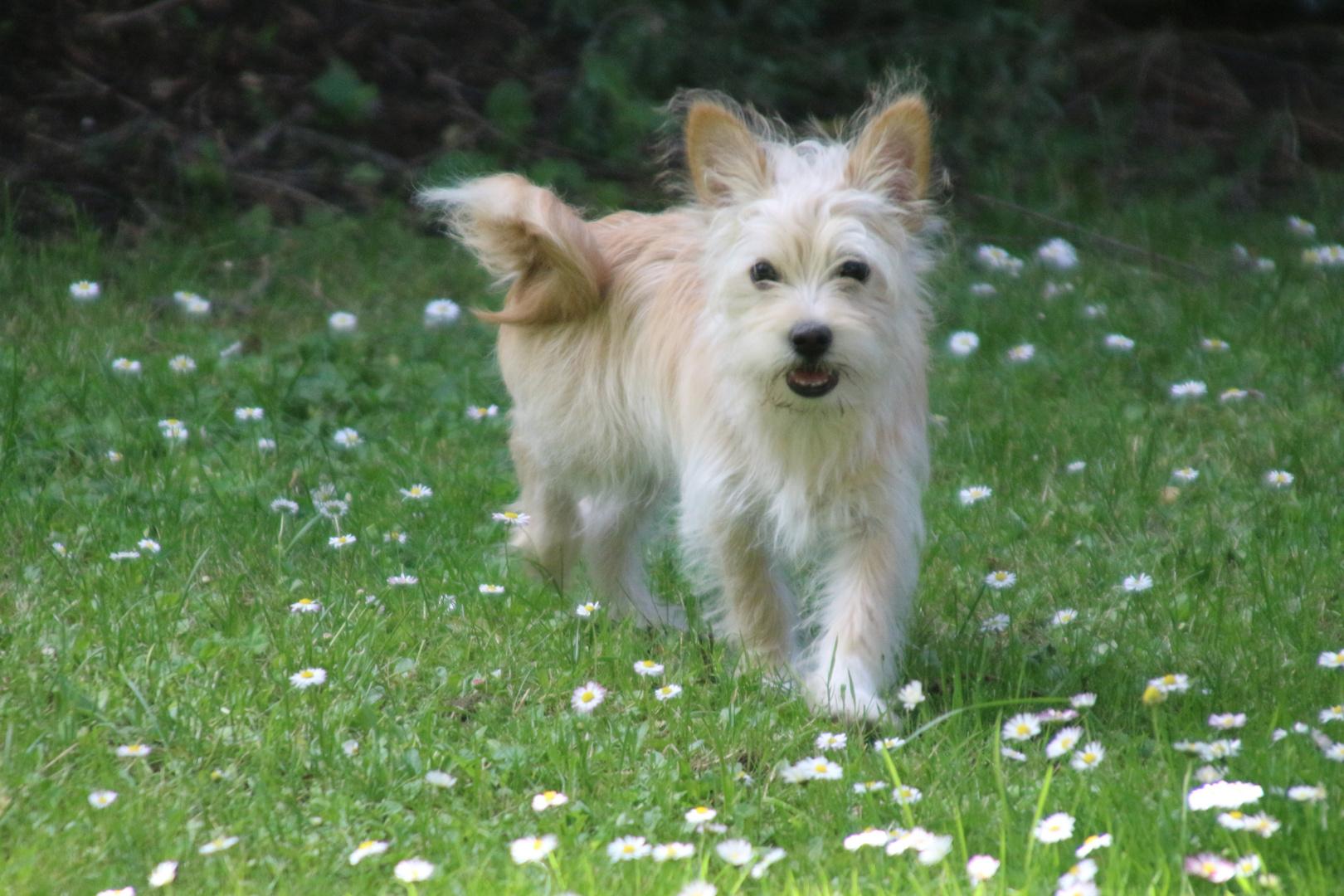 Junger Cairn Terrier