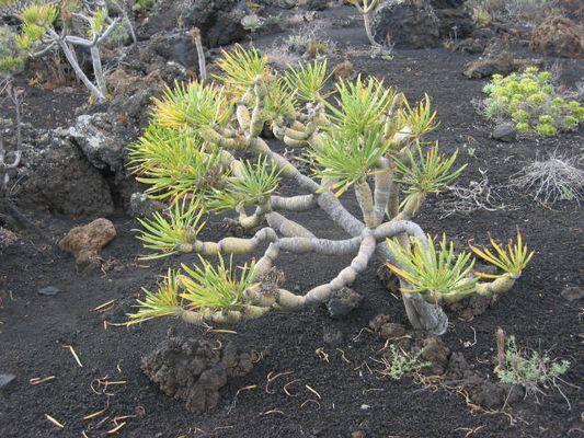 Junger Drachenbaum