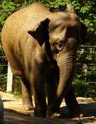 junger Elephant im Zoo Karlsruhe