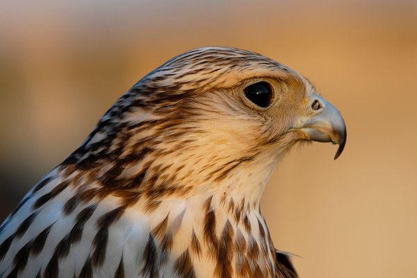 junger Falke in Abendsonne