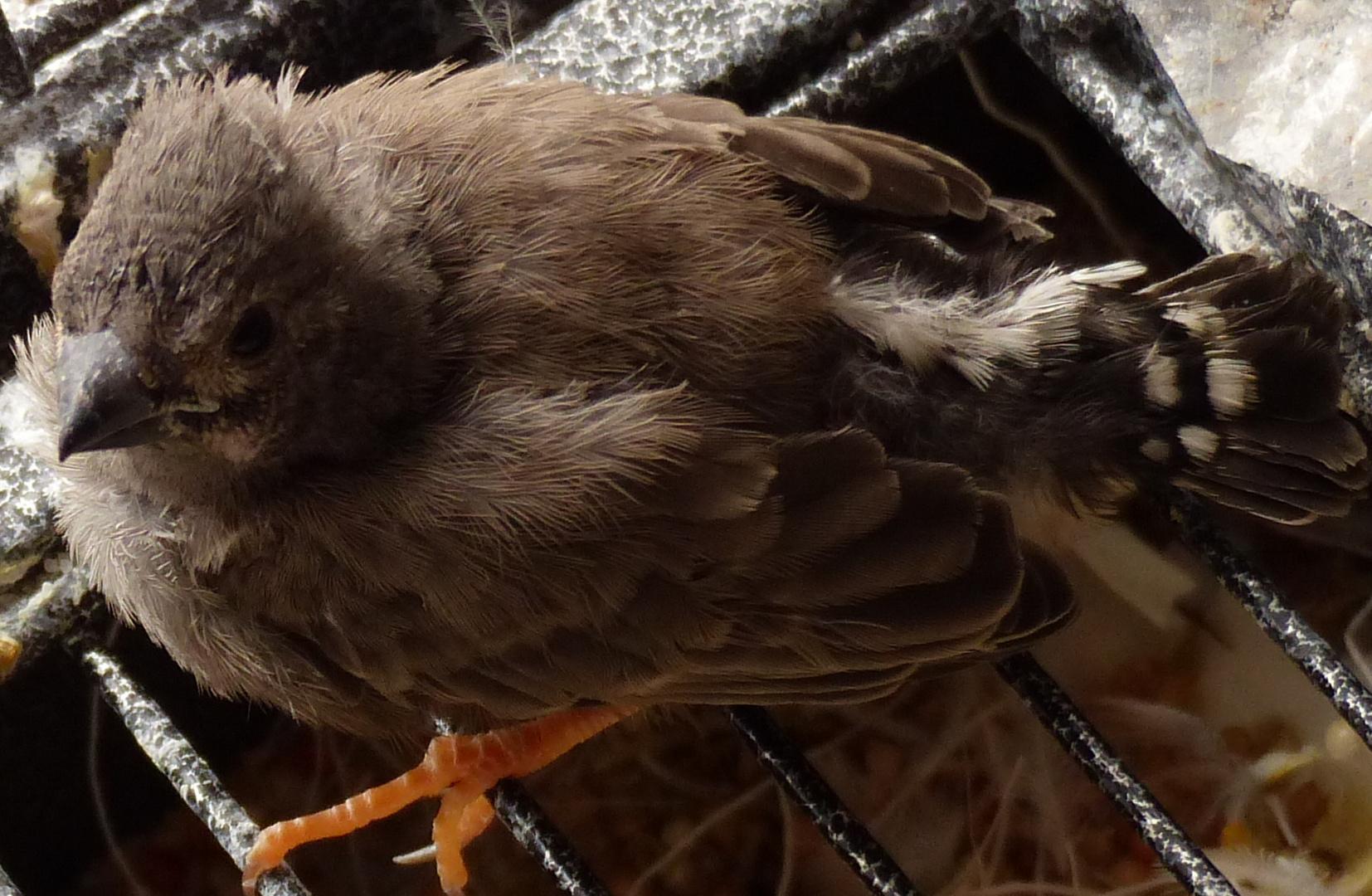 junger Finke erster Tag aus dem Nest gehüpft