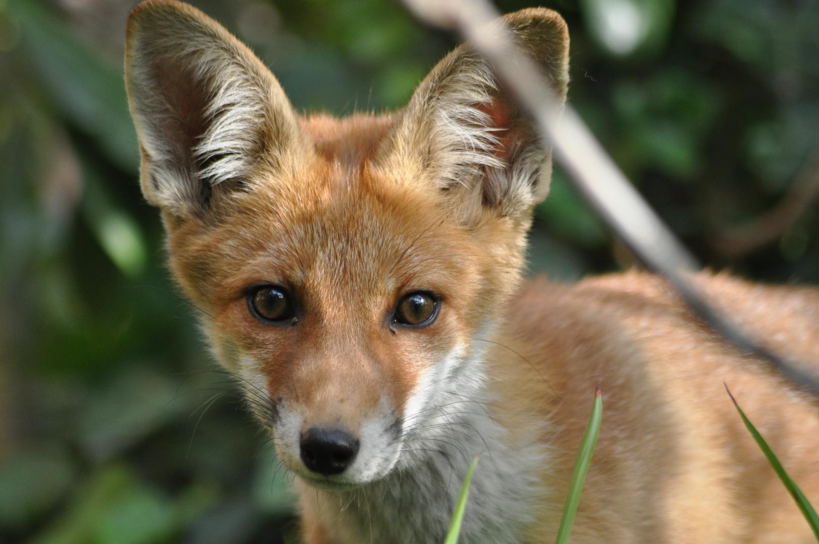 junger Fuchs 11.