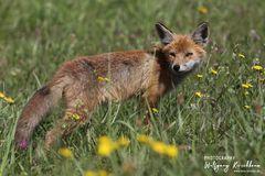 Junger Fuchs am Darf