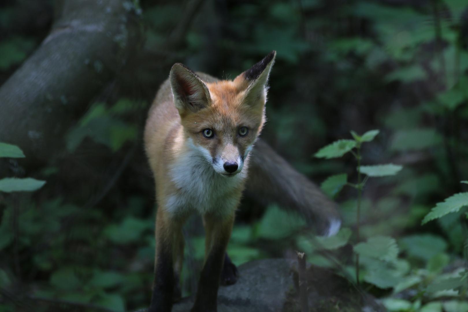 Junger Fuchs I