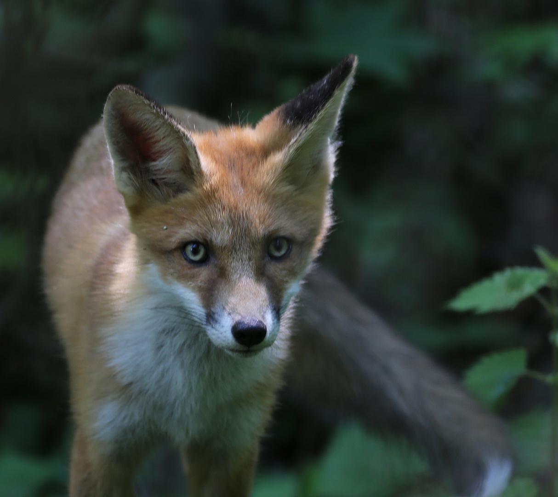 Junger Fuchs II