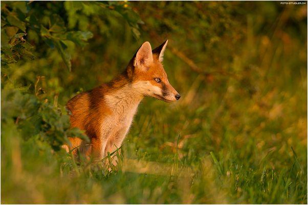 Junger Fuchs in der Abendsonne
