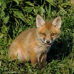--- Junger Fuchs ---   ( Vulpes vulpes )