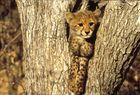 Junger Gepard II