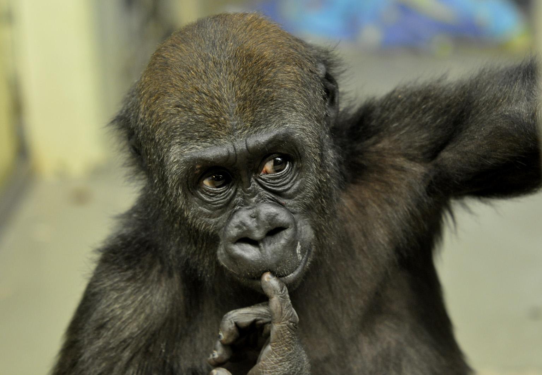 Junger Gorilla in der Stuttgarter Wilhelma