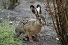 Junger Hase schnuppert an Zweig