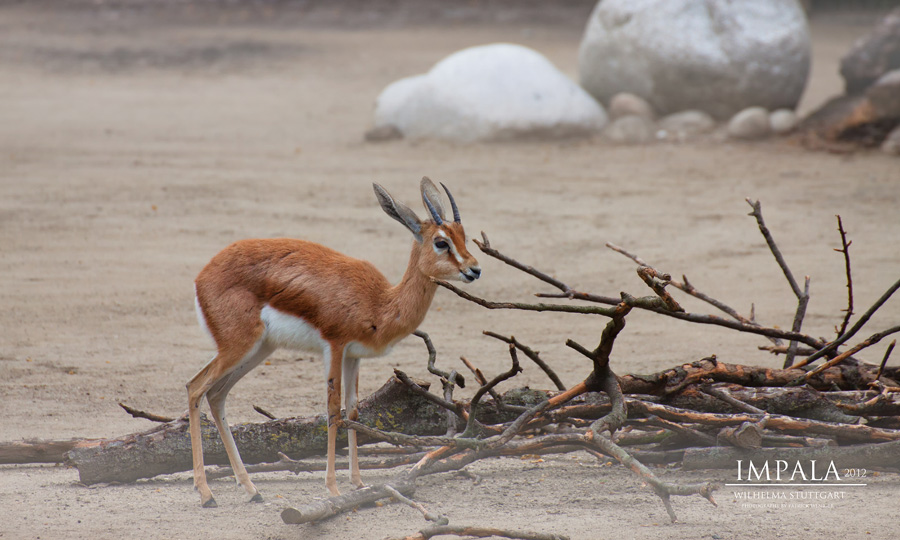 Junger Impala Bock