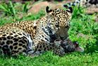 Junger Jaguar - Zoo Krefeld