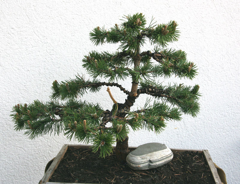 junger kiefer bonsai foto bild pflanzen pilze flechten b ume bonsai bilder auf. Black Bedroom Furniture Sets. Home Design Ideas