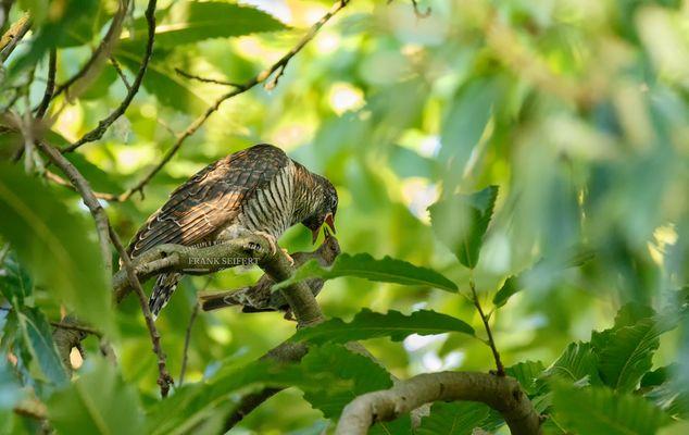 Junger Kuckuck (Cuculus canorus)