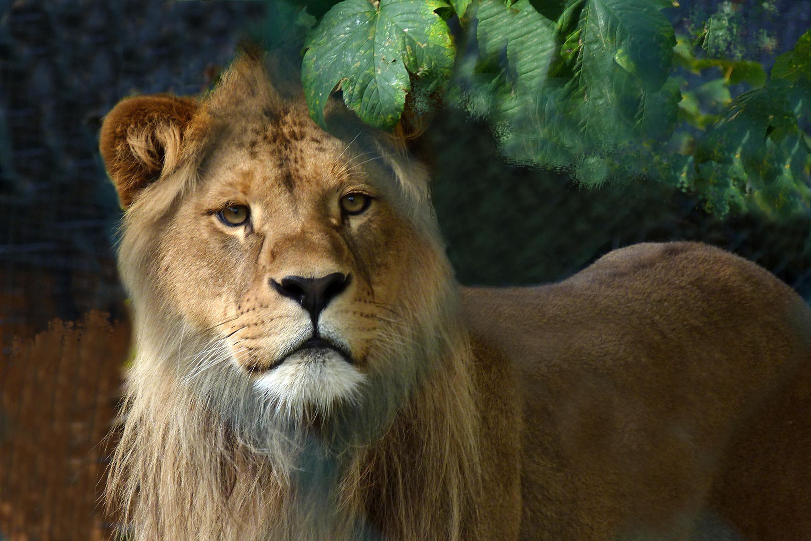 Junger Löwe (1)